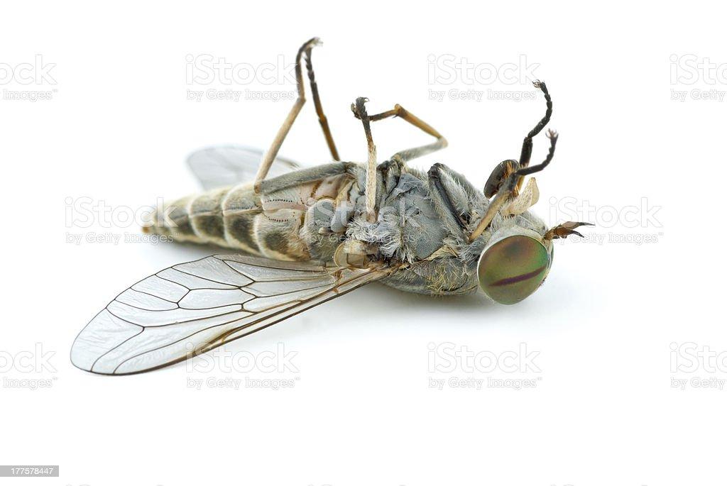 Dead bot fly stock photo