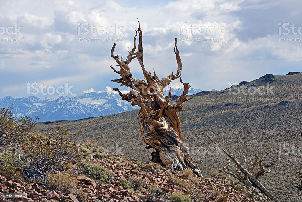 Dead Bristlecone Pine in the White Mountains of California stock photo