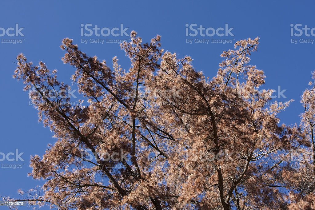 Dead Brown Pine Tree,  Angled, Blue Sky stock photo
