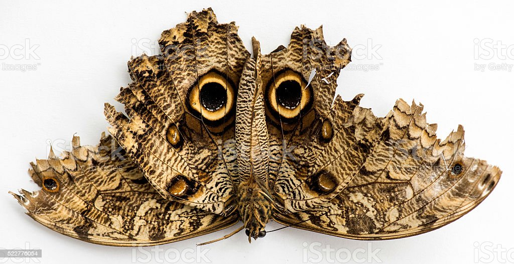 Dead Butterfly stock photo