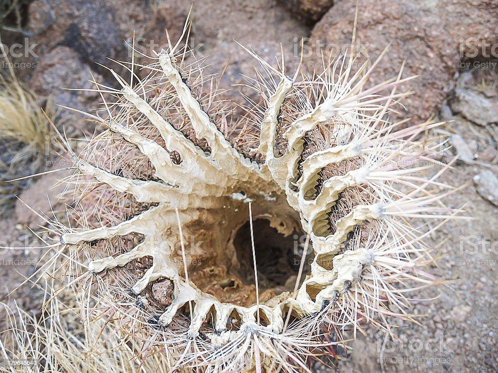 dead cactus royalty-free stock photo