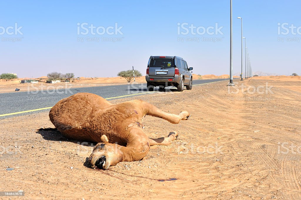 dead camel on high way stock photo