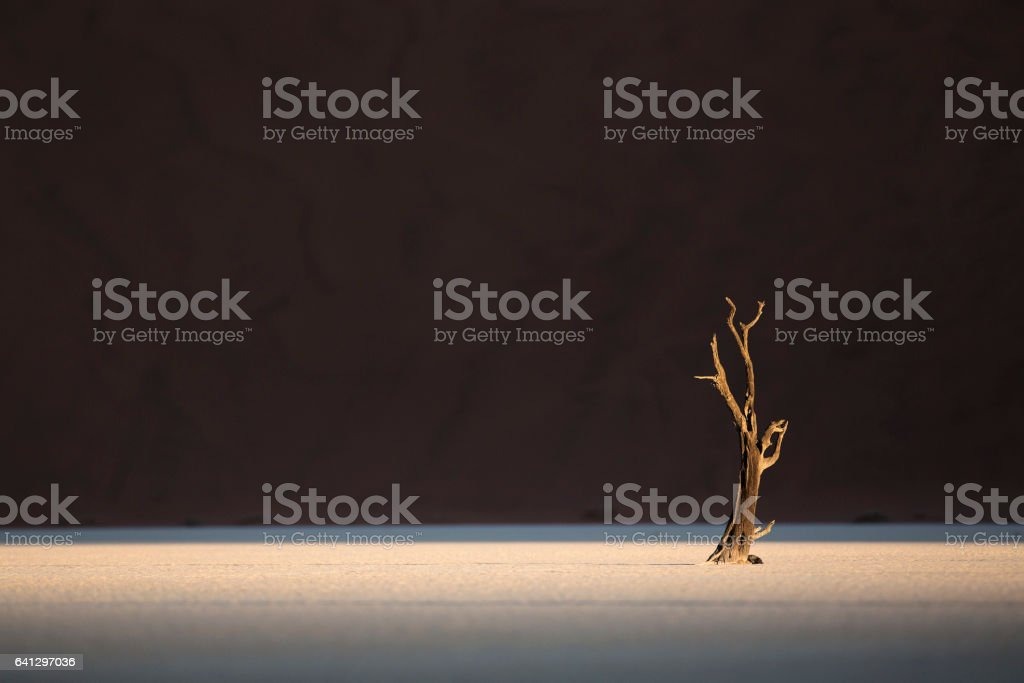 A Dead Camel Thorn Tree stock photo