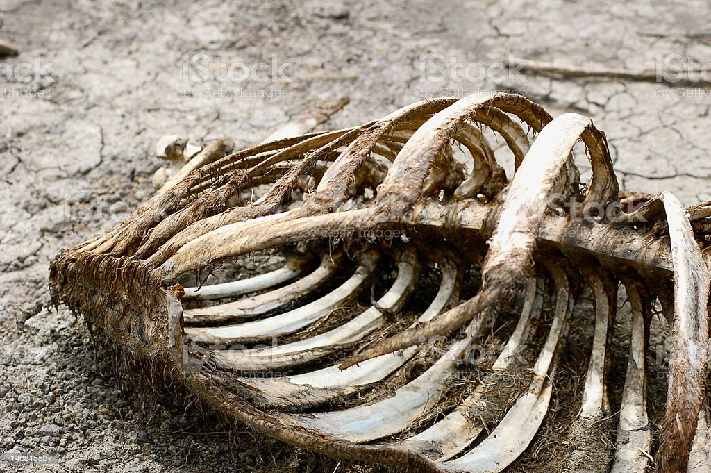 Dead Carcass (Pampas - Bolivia) stock photo
