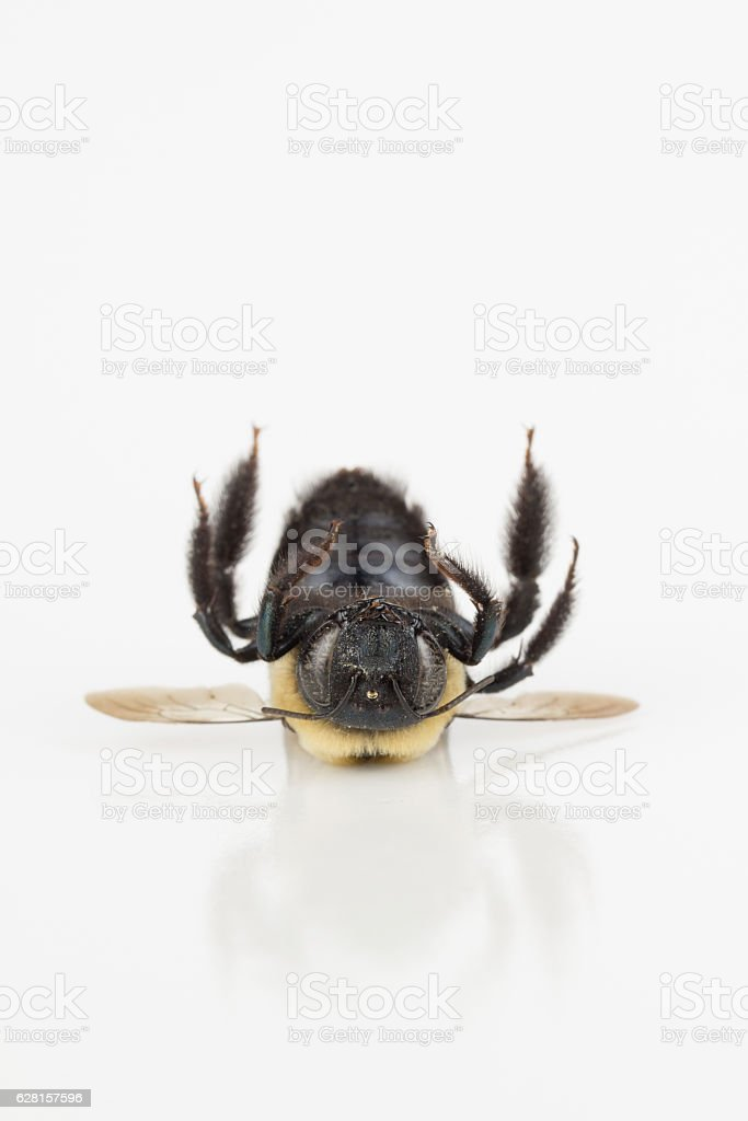 Dead carpenter bee laying on back stock photo