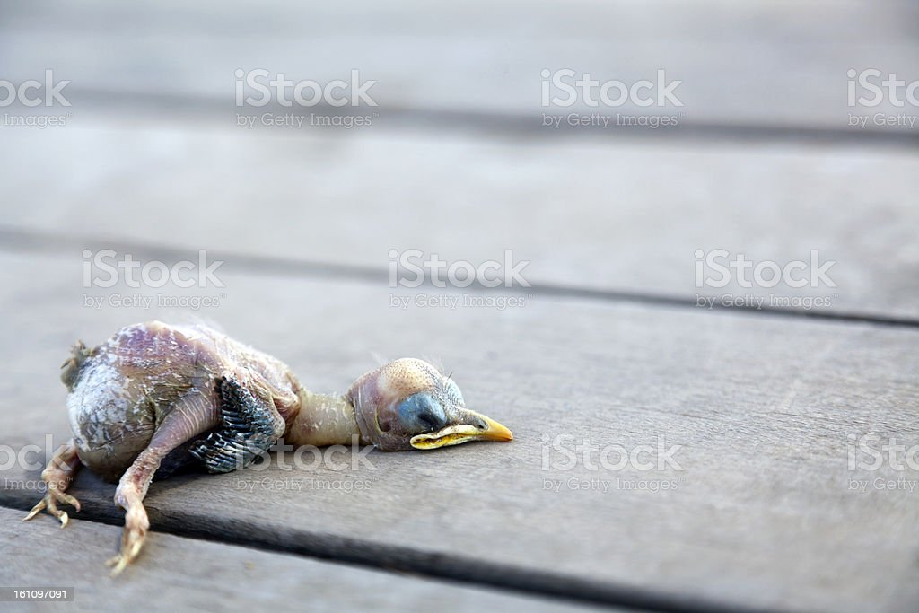Dead Chick royalty-free stock photo