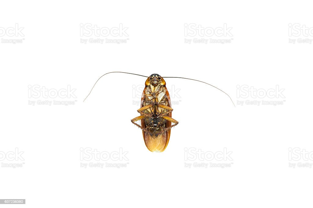 dead cockroach isolate on white background stock photo