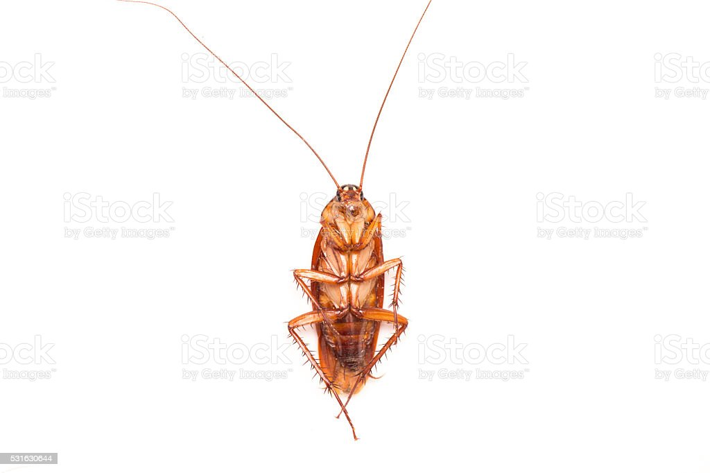 Dead cockroach isolated on a white background. stock photo
