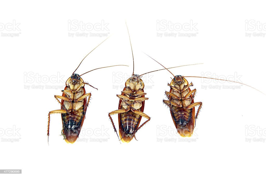 Dead Cockroaches isolated. royalty-free stock photo