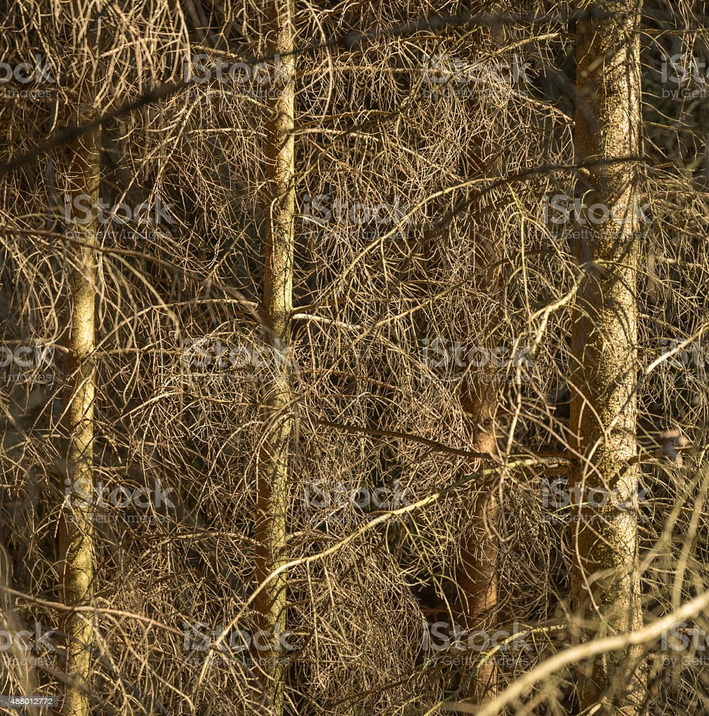 dead conifer trees stock photo