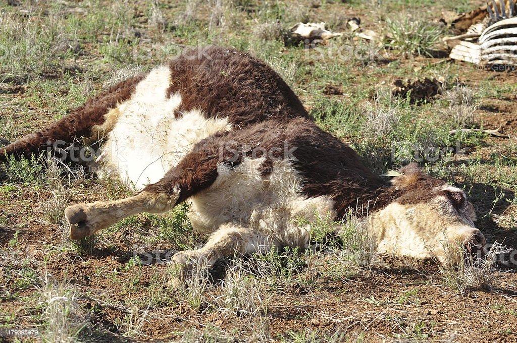 Dead cow in a field stock photo