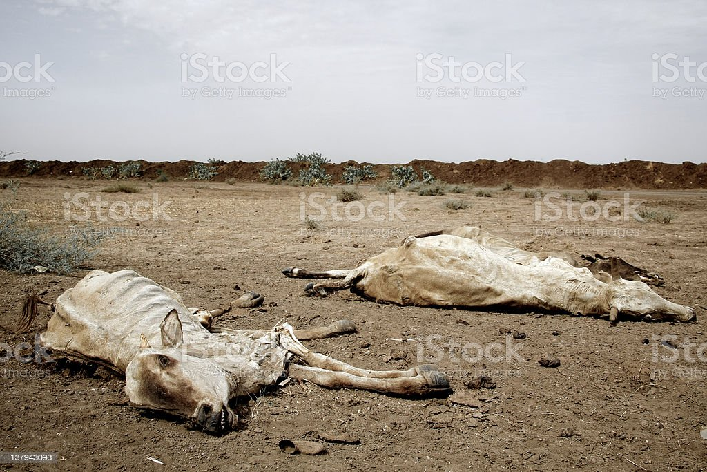 Dead cows by the road royalty-free stock photo