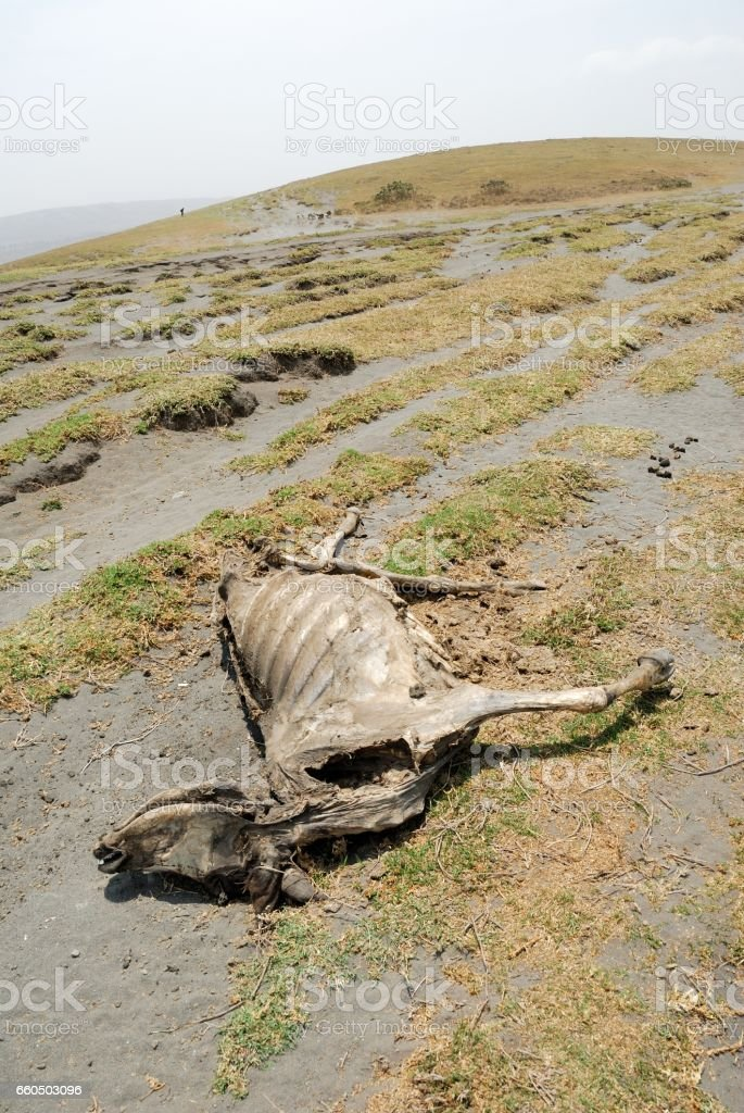 Dead cows on the ground, Great Rift Valley, Tanzania, Eastern Africa stock photo