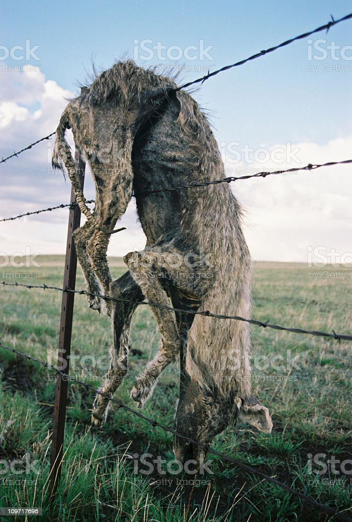 Dead Coyote Caught on Barbed Wire Fence royalty-free stock photo