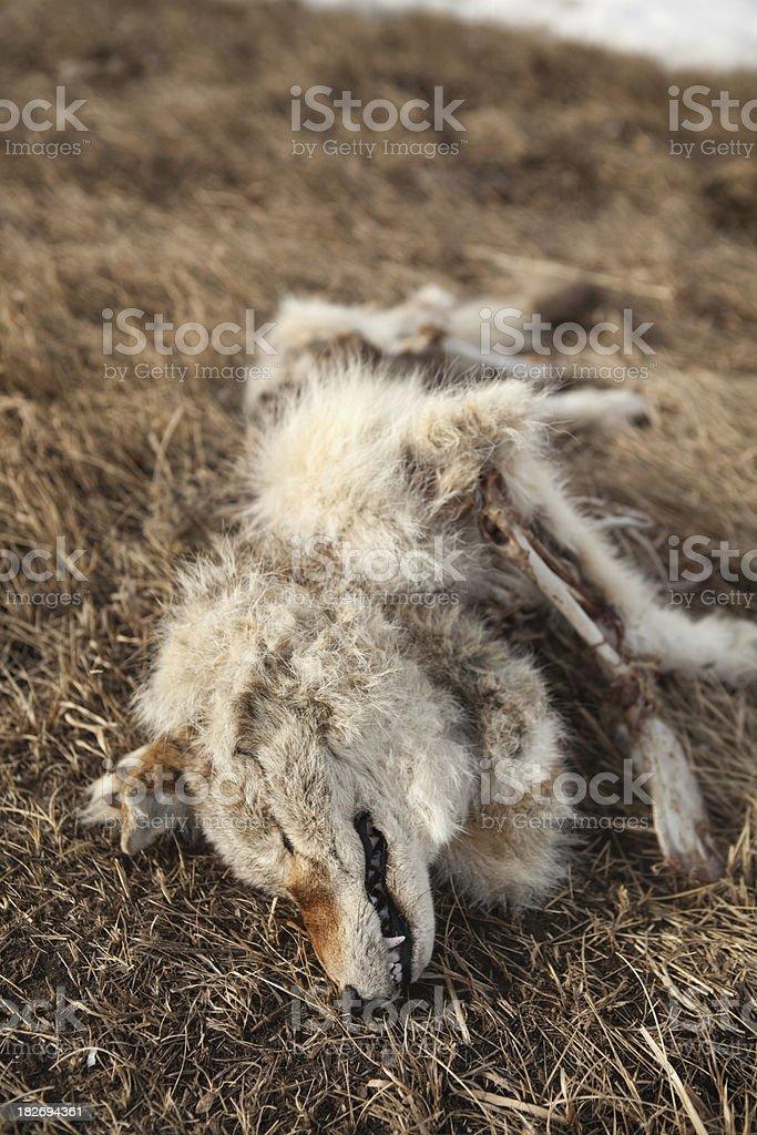 Dead Coyote stock photo