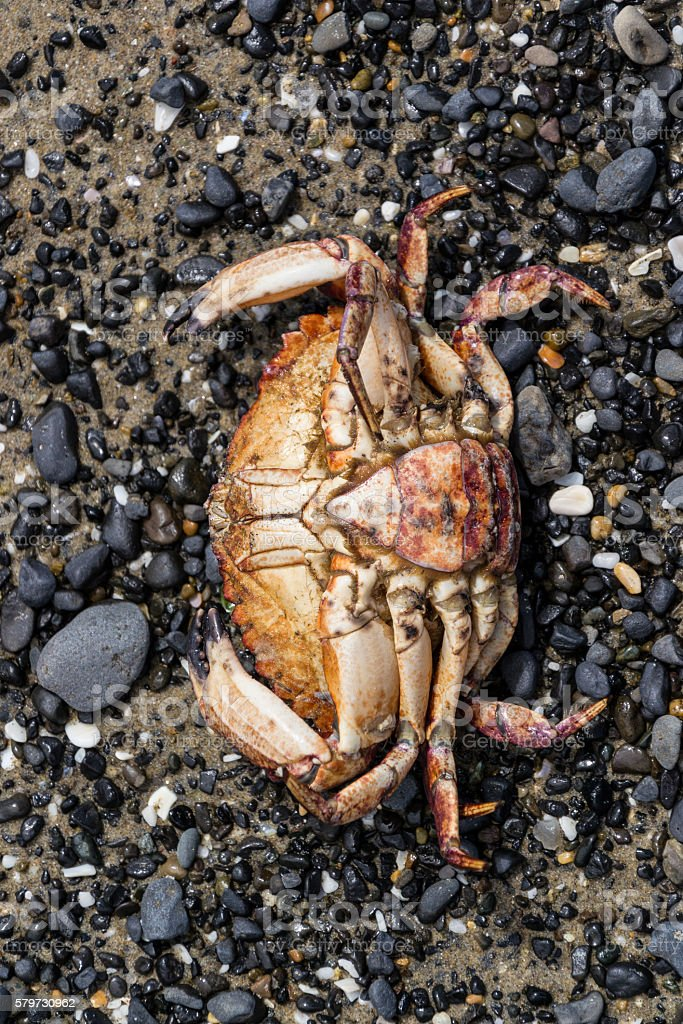 Dead crab in a rocky and sandy beach stock photo