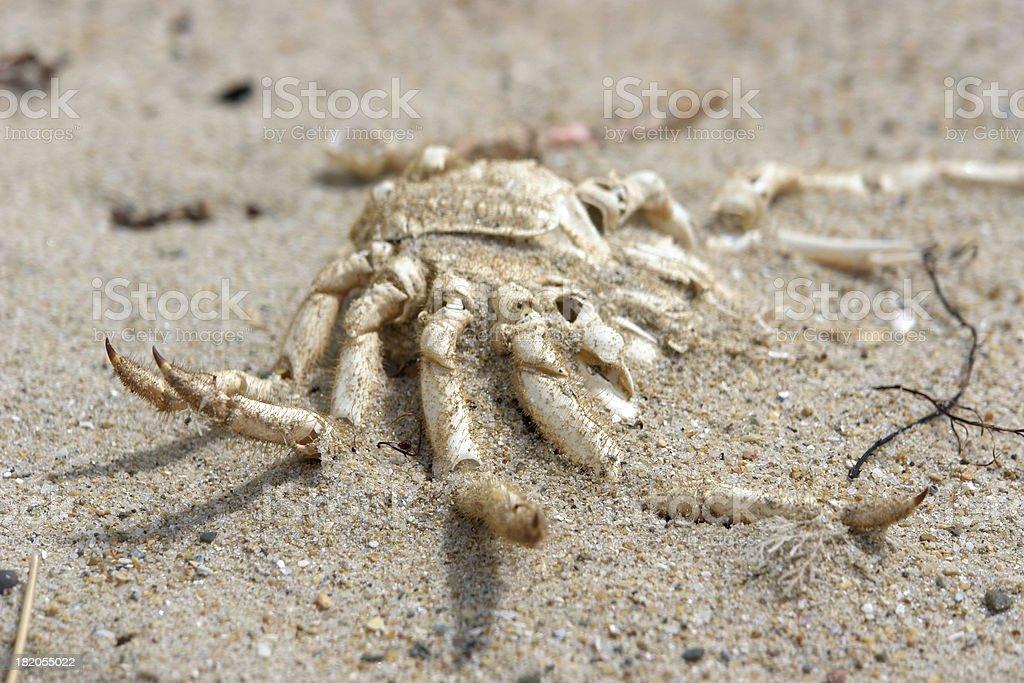 Dead crab on sandy beach royalty-free stock photo