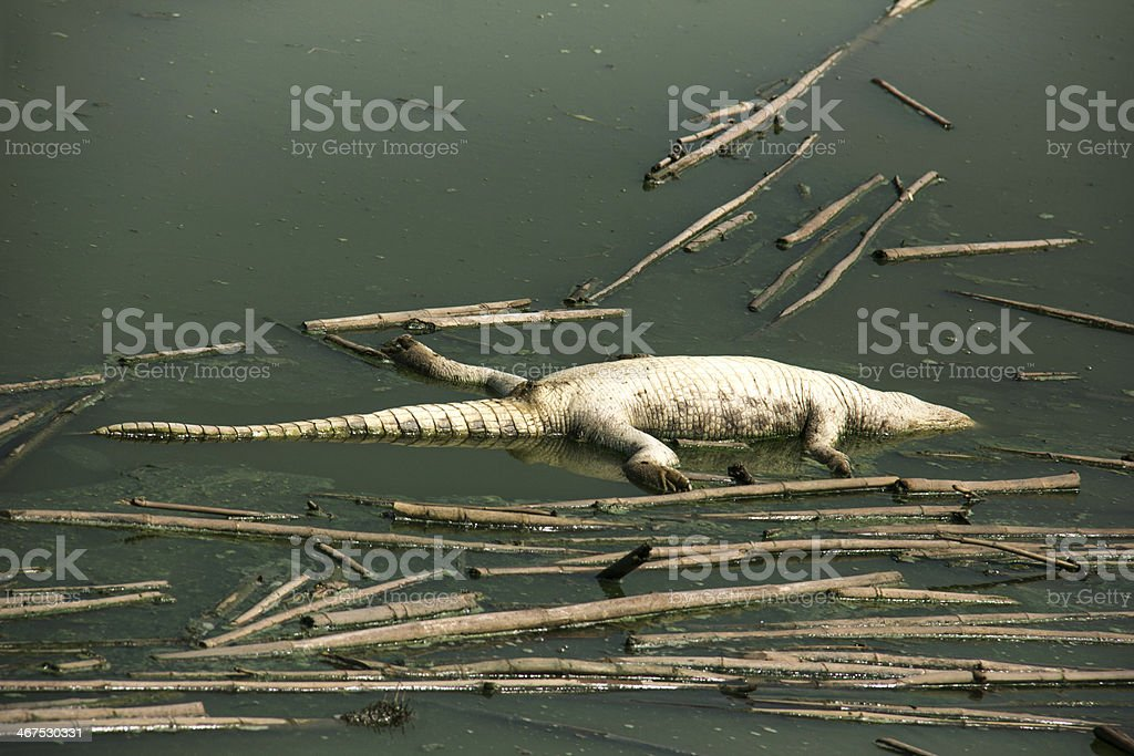 Dead crocodile corpse in the water pollution stock photo