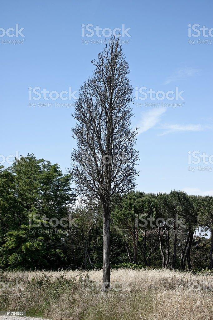 Dead cypress tree royalty-free stock photo
