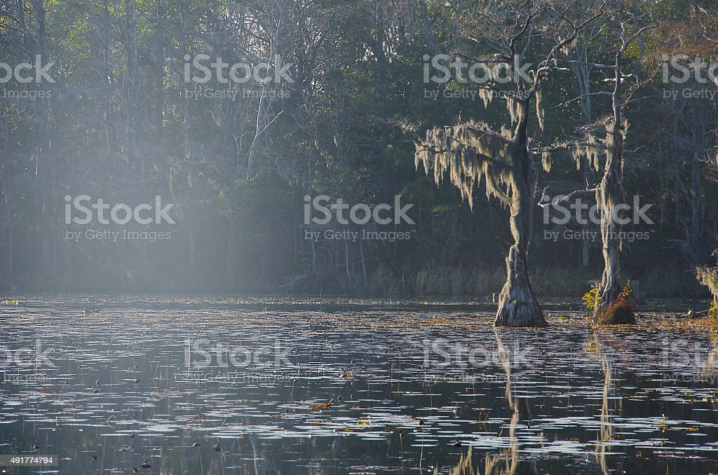 Dead Cypress with Spanish Moss in a Swamp stock photo