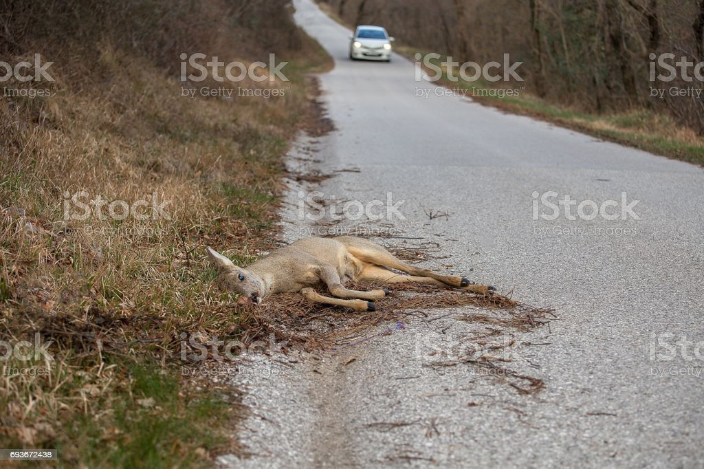Dead European roe deer at the edge of the road with upcoming car