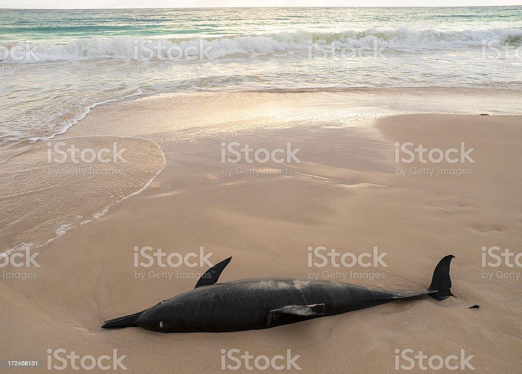 Dead dolphin royalty-free stock photo