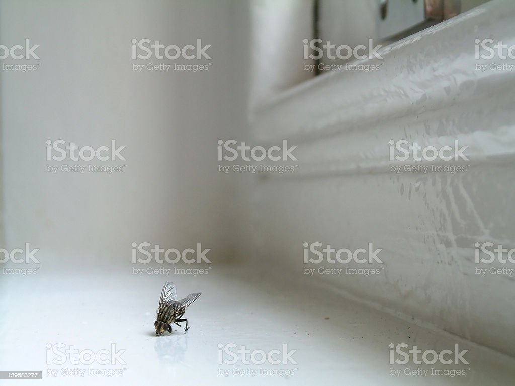 Dead domestic fly royalty-free stock photo