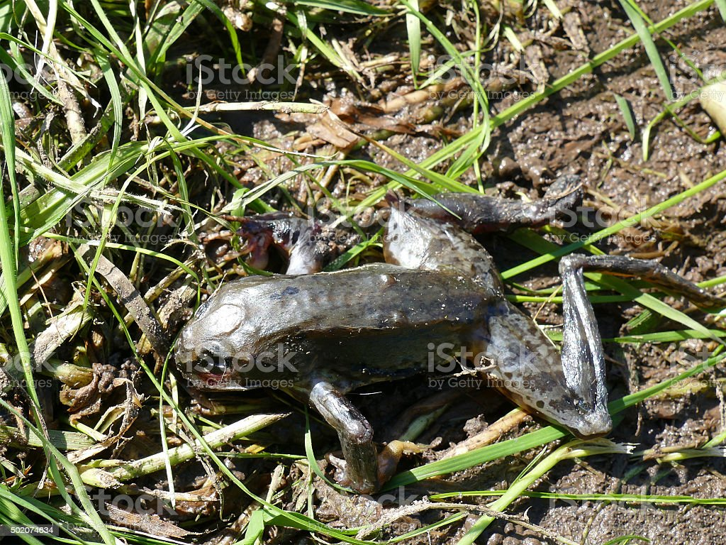 Dead dried out frog on ground stock photo