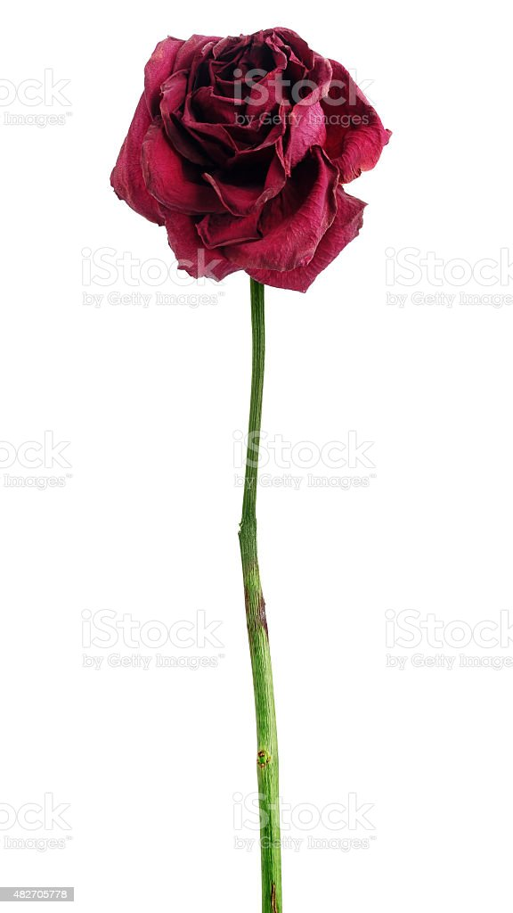 Dead dried red rose stock photo