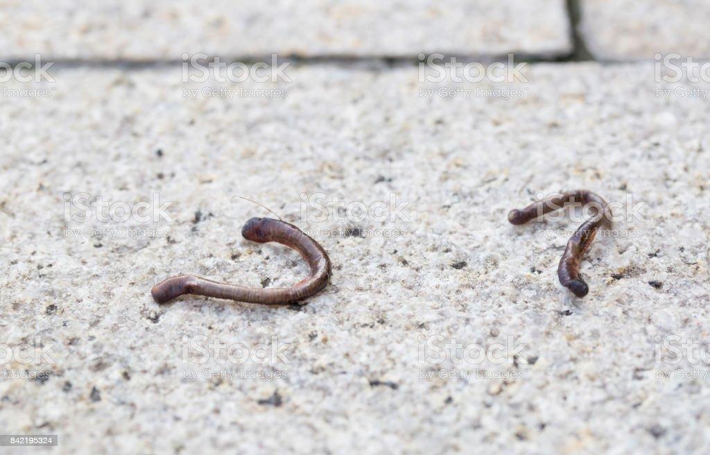Dead earthworm on the dry floor, outdoor. stock photo