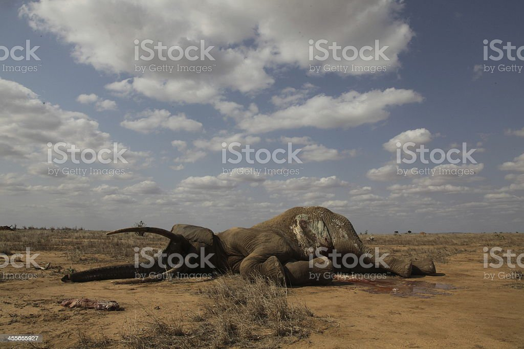 Dead Elephant Bull stock photo