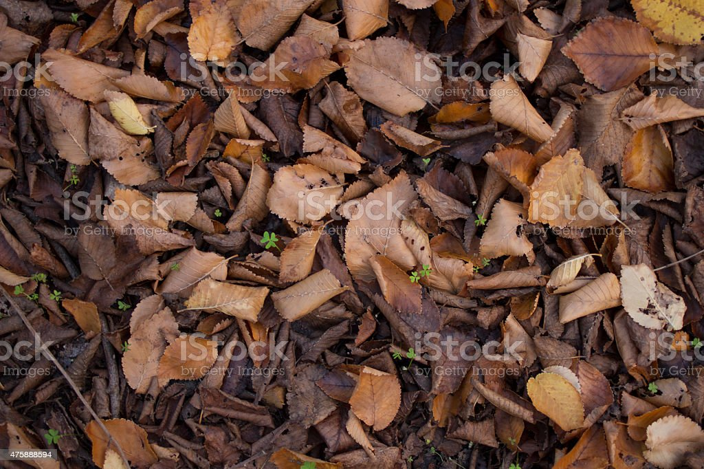 Dead Elm Tree Leaves on Ground in Autumn stock photo