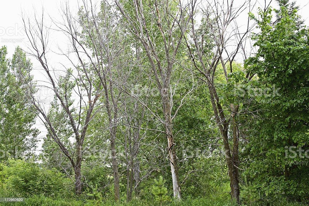 Dead Elm Trees royalty-free stock photo