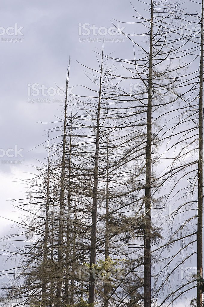 Dead Fir Tree by Air Pollution royalty-free stock photo