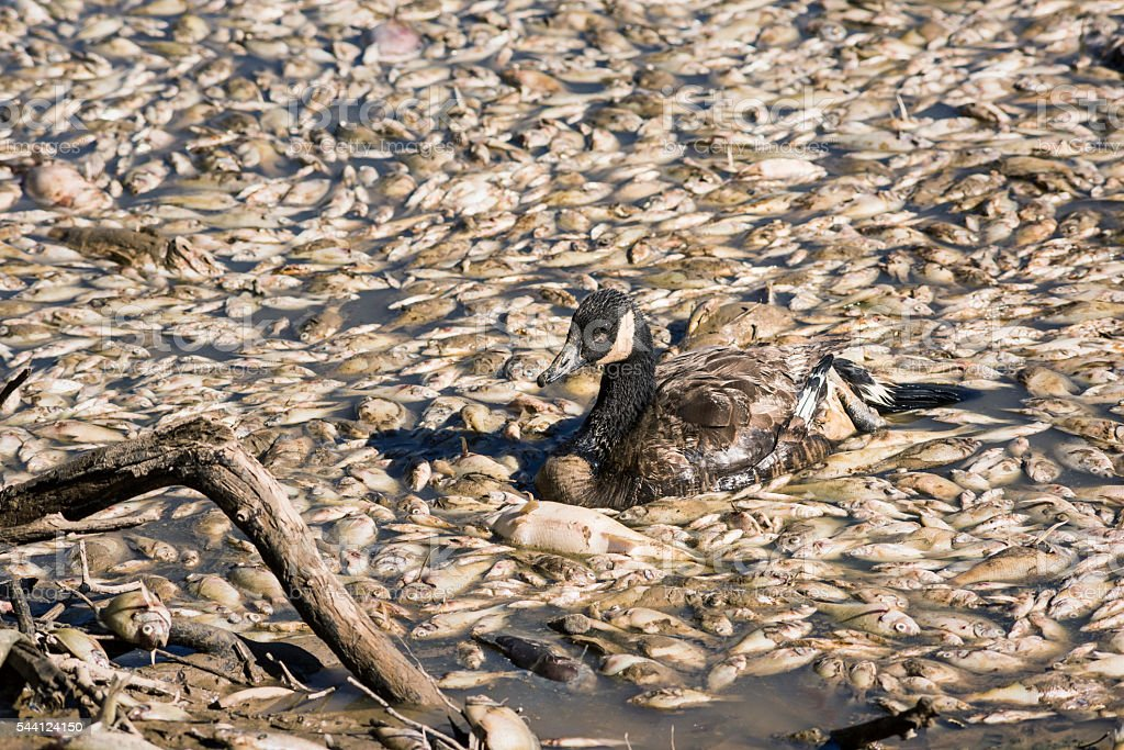 Dead fish and sick goose after lake drainage stock photo