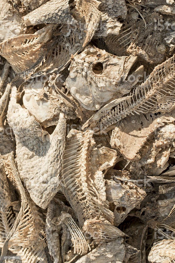 Dead fish carcasses from drought royalty-free stock photo