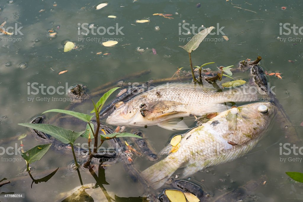 dead fish floated in the dark water, water pollution stock photo
