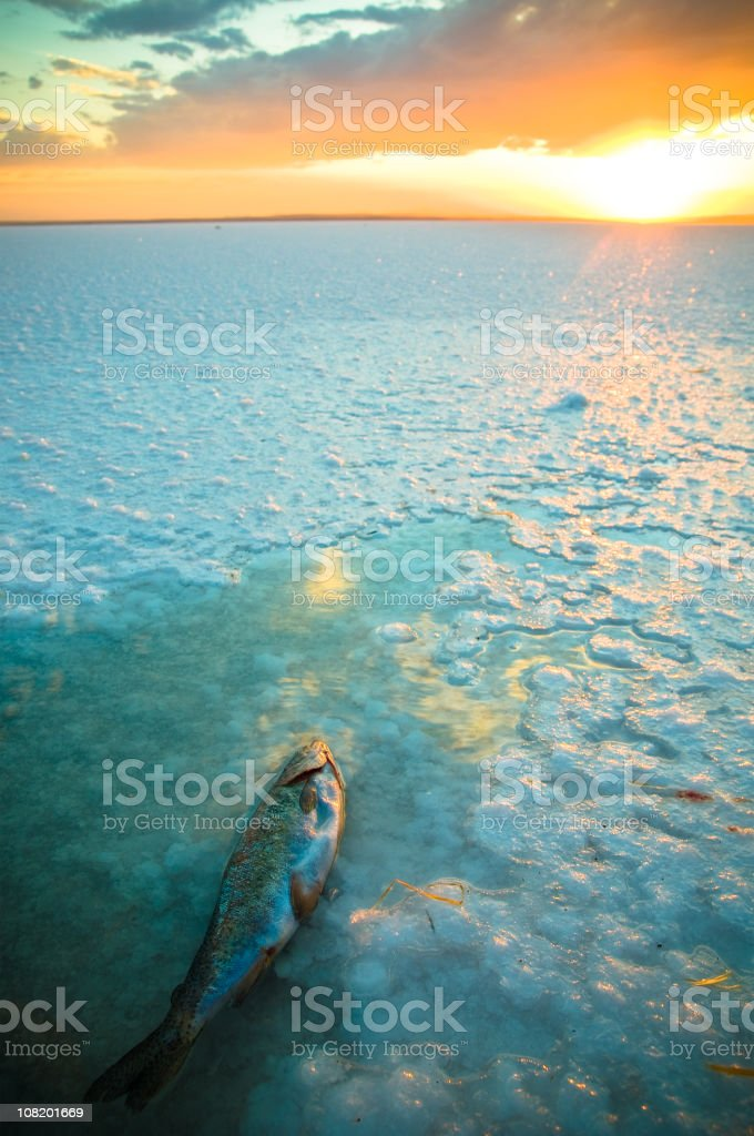 Dead Fish Floating in Shallow End of Lake at Sunset stock photo