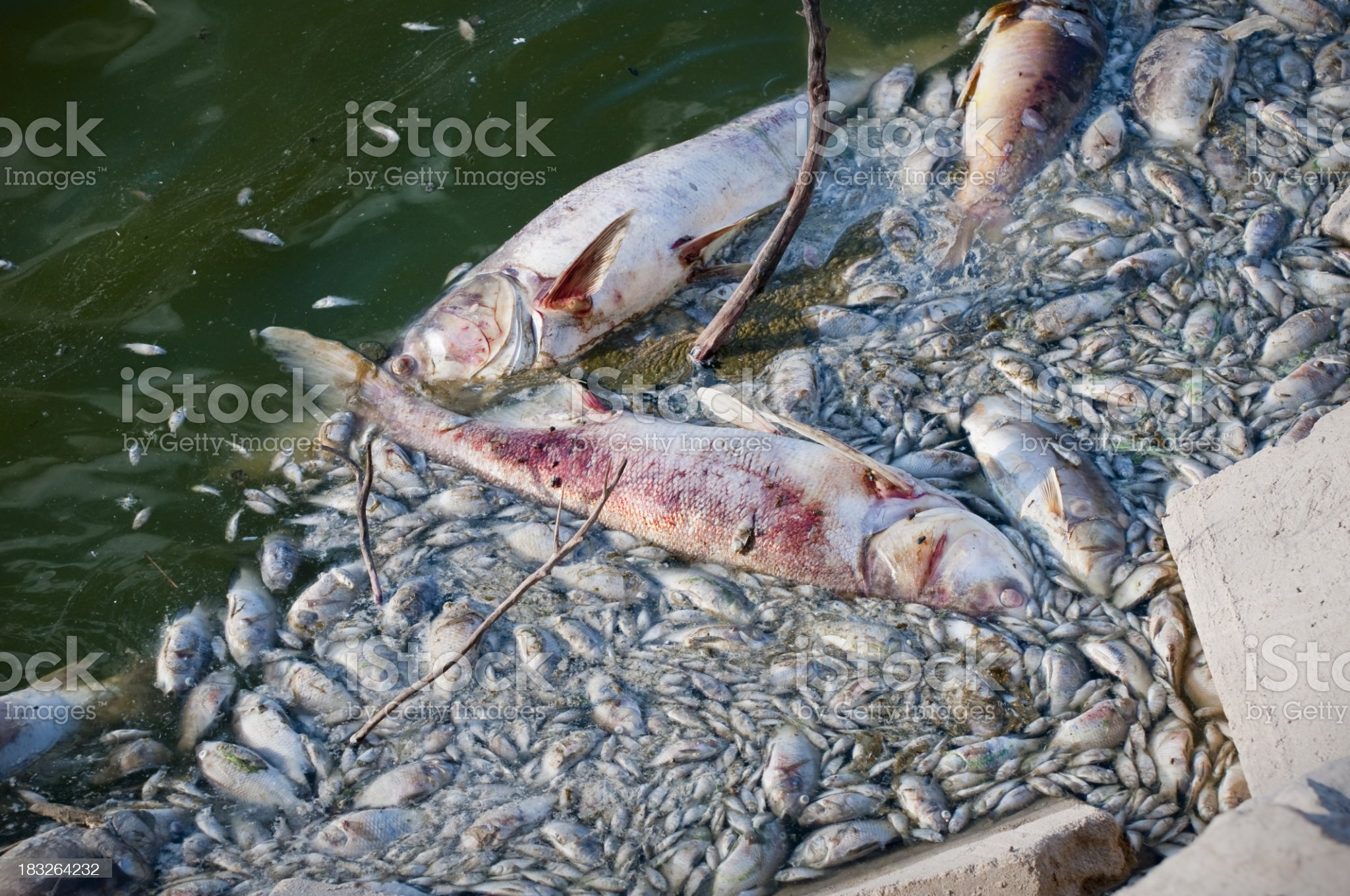 Dead fish floating in water royalty-free stock photo
