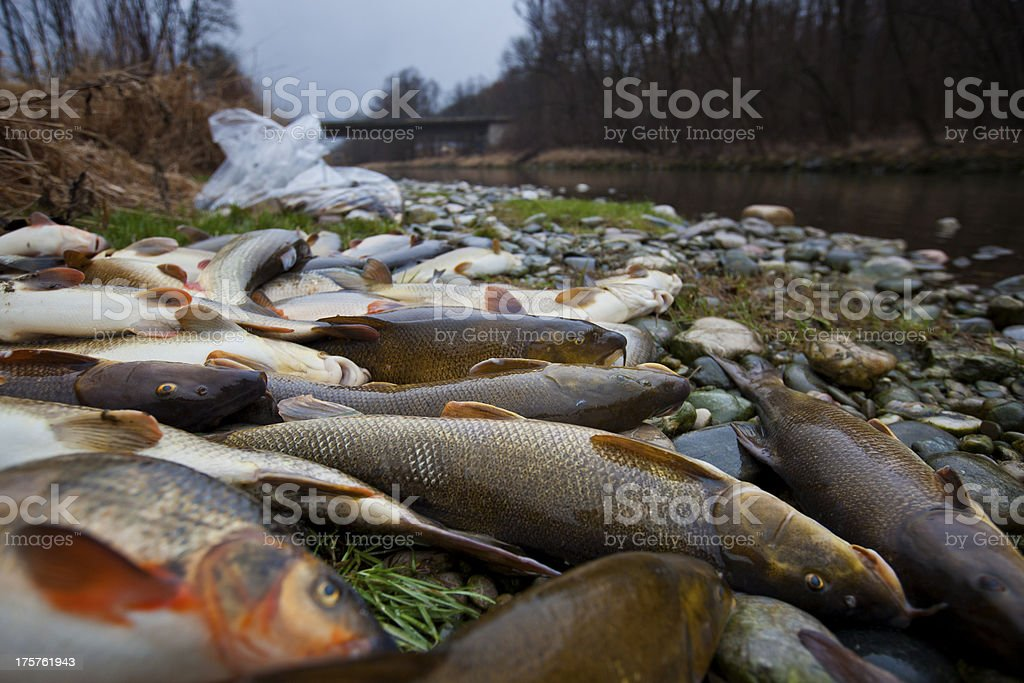 dead fish in contaminated river stock photo