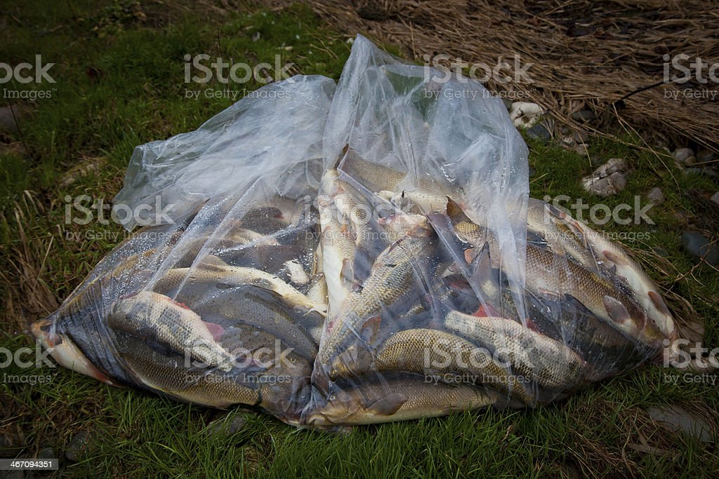 dead fish in contaminated river royalty-free stock photo