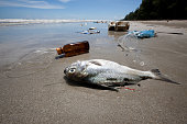 Dead fish on a beach surrounded by washed up garbage.