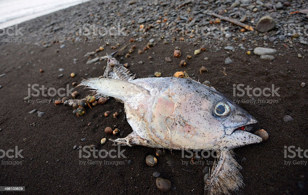 dead fish on beach being eaten by hermit crabs stock photo