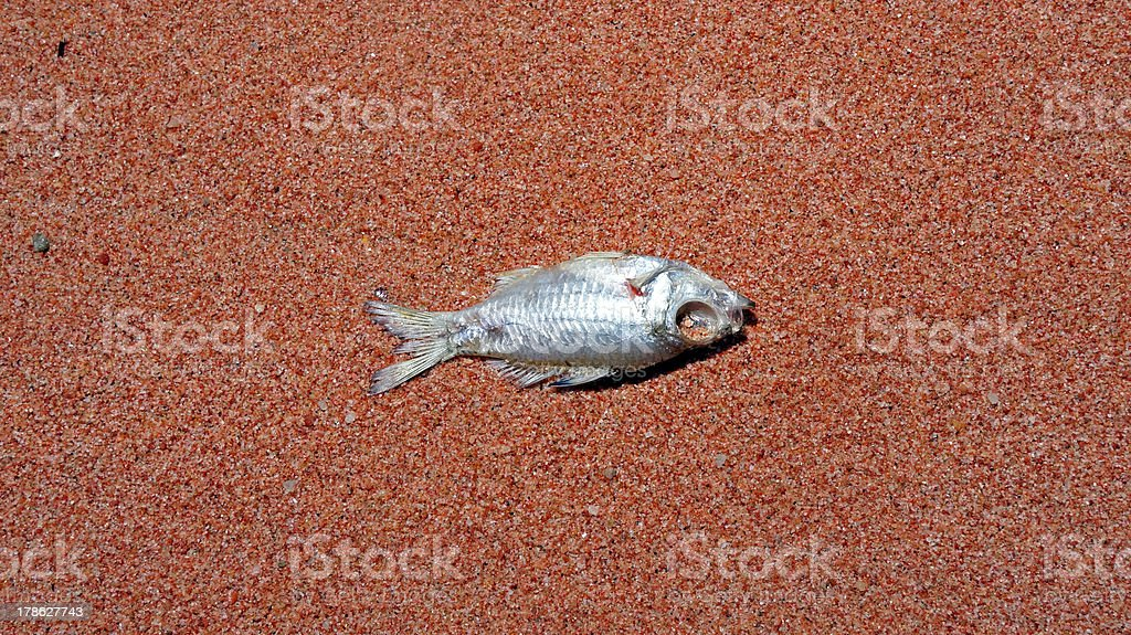 dead fish on the beach royalty-free stock photo