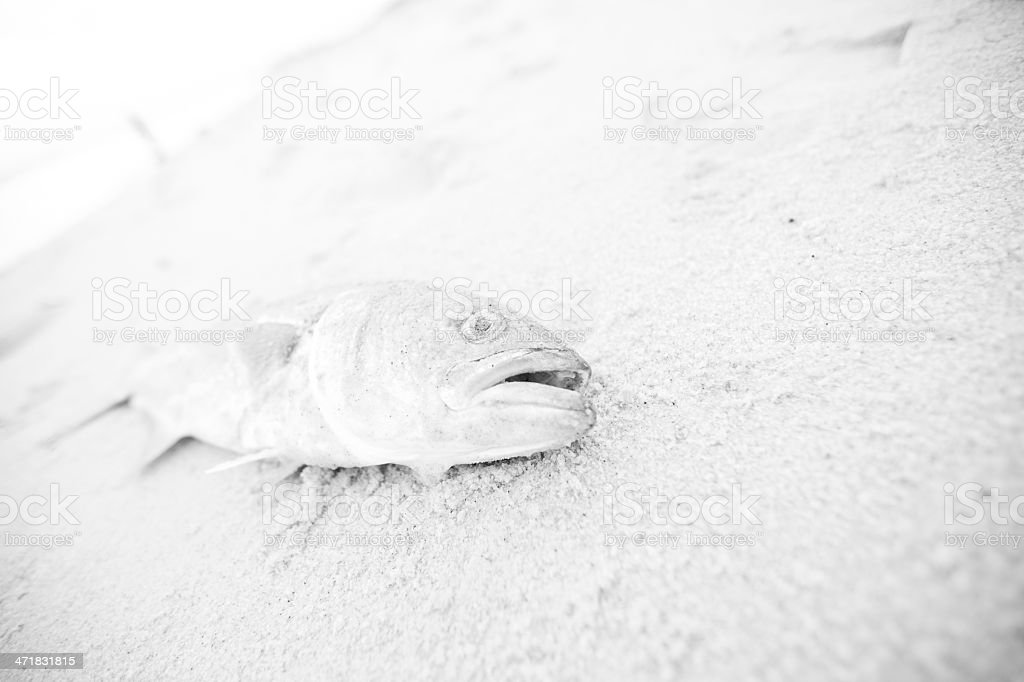 Dead Fish on the sand royalty-free stock photo