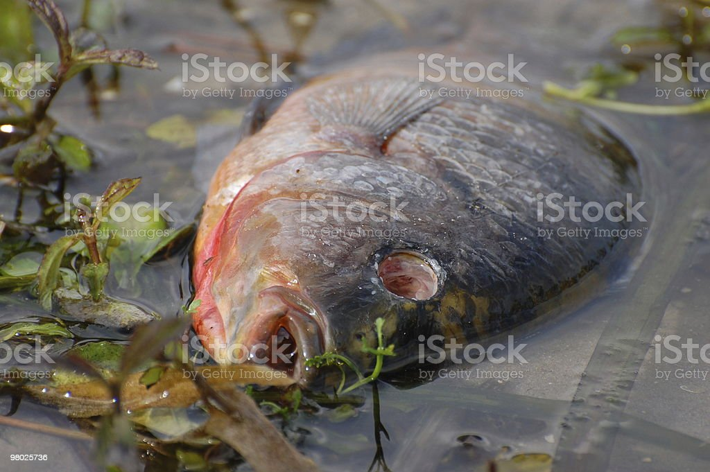 Dead Fish stock photo