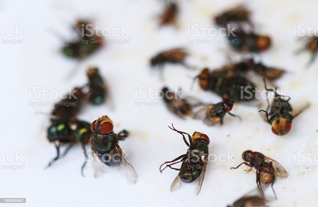 Dead flies on a sticky fly paper-tape. stock photo
