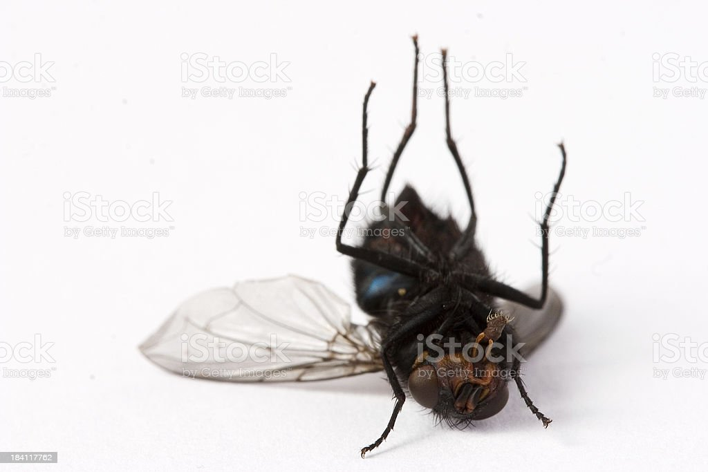 Dead fly macro royalty-free stock photo