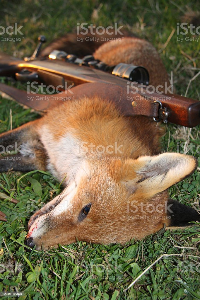 Dead fox and rifle stock photo