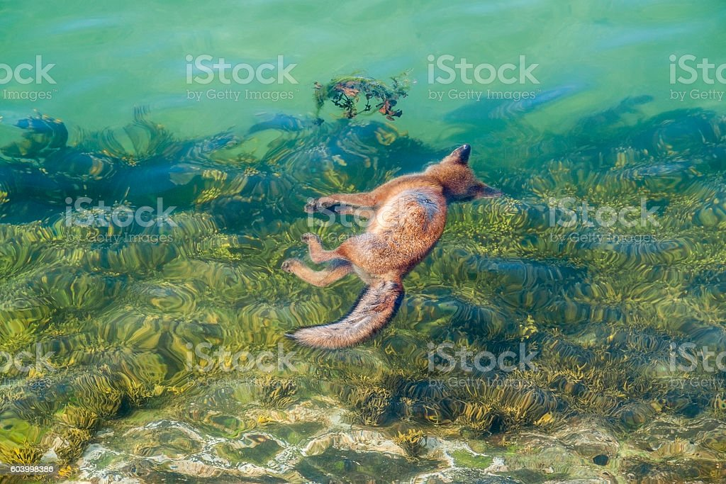 dead fox in the sea stock photo